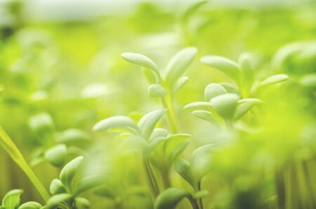 Green young fresh grass leaves in bright light, close-up, soft focus Banque d'images