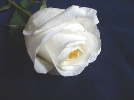 thinness: White Rose