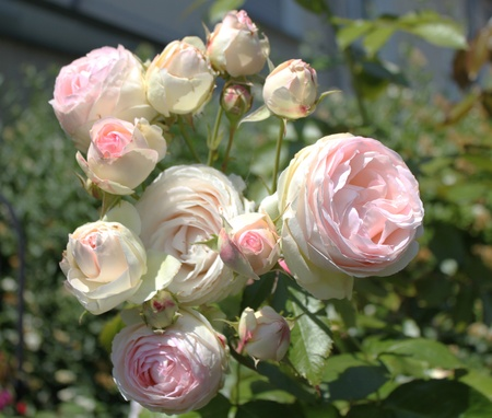 jardines con flores: Rose  Foto de archivo