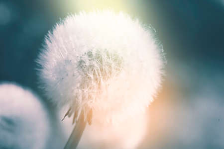 Close up of Dandelion silhouette against sunset in blue and orange pastel colour Banco de Imagens - 150646658