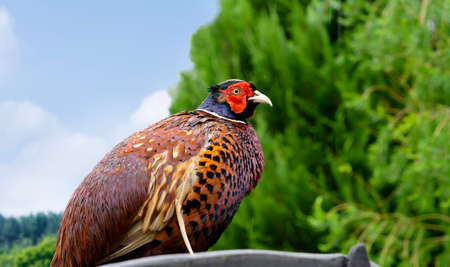 Side view of Ringneck Pheasant standing on roof with rain drops on his feathers, Phasianus colchicus or male - cock, The colourful feathers of bird