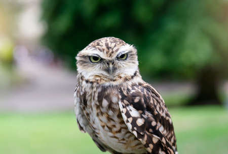 Cropped shot of eagle-owl with a funny eyes looking at camera, Close up shot of Cute wild bird with blurry nature background.