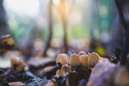 Beautiful spring natural of wild mushroom with blurry bokeh sun rays shining background, Selective focus wildlife in the morning after rain fresh fungus mushroom growing in forest, Eco environmental