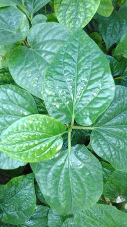 piperaceae: Pipersarmentosum herb1 Stock Photo