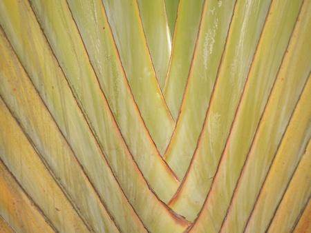 banana leaf: hoja de pl�tano hermoso Foto de archivo