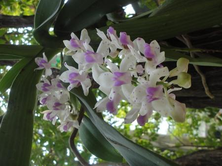 orchid thai: thai orchidea fiore Archivio Fotografico