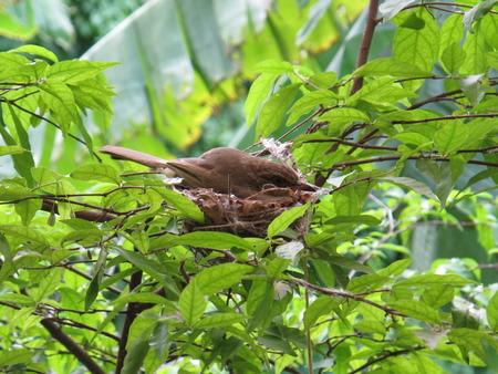 oriole: oriole bird on the nest