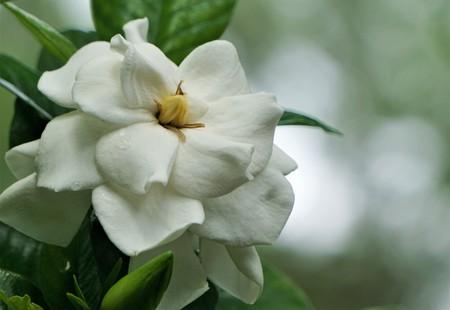 Pretty gardenia flower (Gardenia jasminoides) blooming in the garden background , Spring in GA USA. Stock Photo