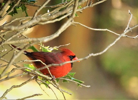A single male cardinal perching on the branch of the tree on the garden background, Autumn in Georgia USA.
