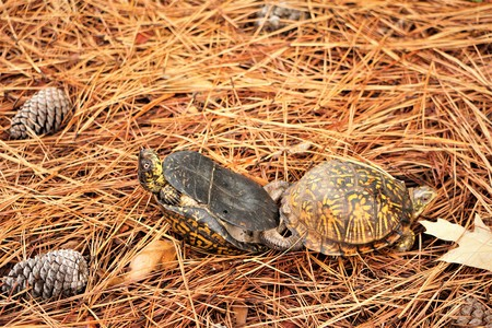 A pair of Terrapins Turtles mating on the pine straw near the lakeside, Autumn in VA USA.
