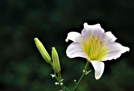 Pale pink daylily blooming and buds on the soft focus garden background with bokeh, Summer in GA USA.