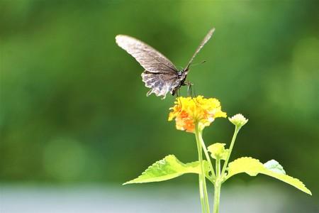A pretty brown butterfly enjoy sipping nectar from Lantana flower (Lantana camara) on soft focus garden background, Summer in GA USA. 版權商用圖片
