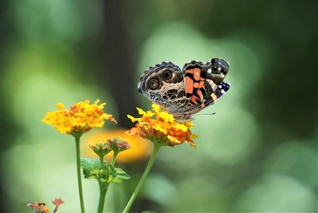 Pretty brown orange butterfly sipping nectar from Lantana flower, Summer in GA USA.