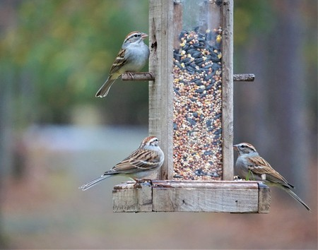 House sparrows ( Passer Domesticus ) perched on the wooden feeder enjoy eating and resting on the blurry background garden, Autumn in Ga USA. Stock Photo - 106415813