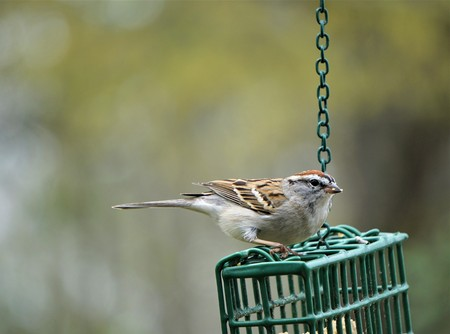 A single chipping sparrow (Spizella passerine) perching on suet feeder enjoy eating and relaxing on the soft focus garden background, Spring in GA USA.