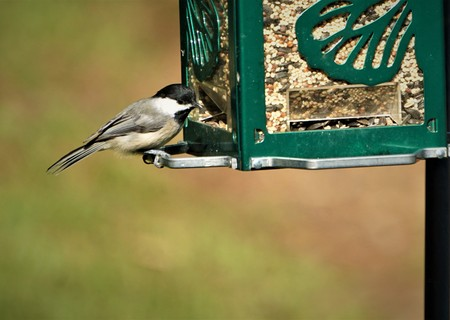 A naughty black capped chickadee bird is perching on the bird feeder to eat sunflower seed on the blurry garden background , summer in Ga USA.