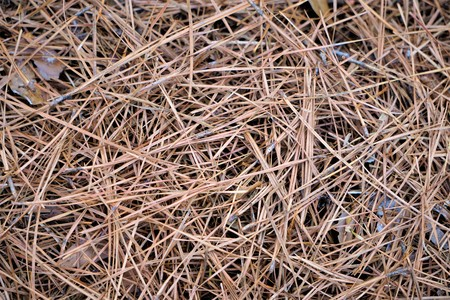Dried pine straws fallen on the ground as background texture, winter in GA USA.