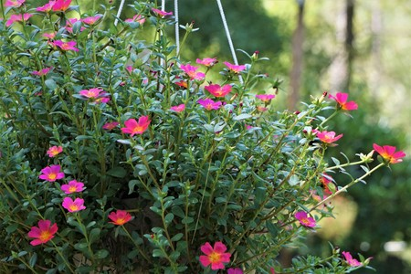 The bunch of Pusley flower (Portulaca oleracea) growing up in the pot on the background of the garden, the petal will open when sunrise and will close when sunset, Summer in GA USA.