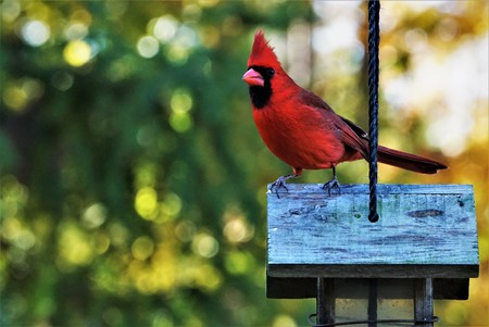 A single male cardinal bird perching on the roof of wooden feeder enjoy watching and relaxing on the soft focus garden background, Autumn  in Georgia USA.