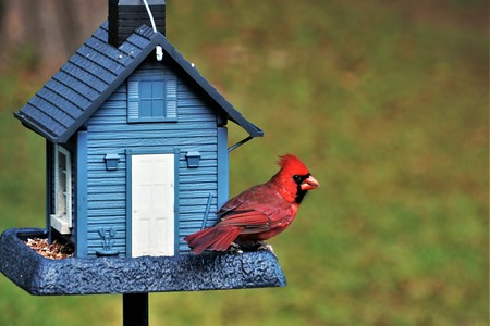 A single male cardinal bird is perching on the beautiful blue feeder enjoy eating and watching  on soft focus garden background, Winter in Georgia USA. 写真素材