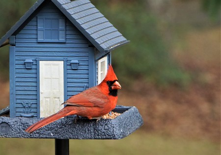 A single male cardinal bird is perching on the beautiful blue feeder enjoy eating and watching  on soft focus garden background, Winter in Georgia USA. 스톡 콘텐츠