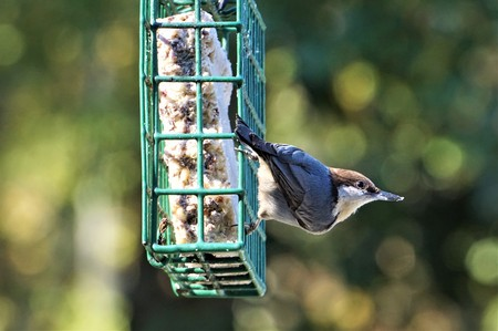 A cute BROWN-HEADED NUTHATCH (Sitta pusilla) perching on green suet feeder enjoy eating and relaxing  on the soft focus garden background with bokeh, Autumn in GA USA.