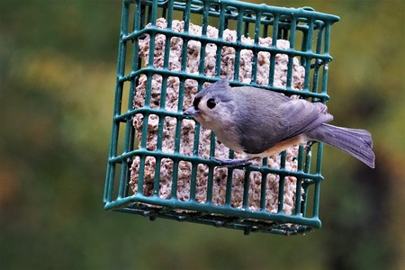 A single tufted titmouse (Baeolophus bicolor) perching on green suet feeder enjoy eating and relaxing on the background of blurry garden, Autumn in Georgia USA.