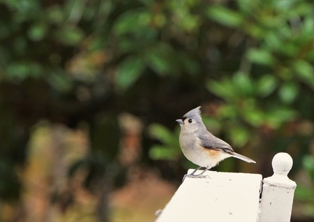 An adorable Tufted Titmouse (Baeolophus bicolor) perching on the wooden fence enjoy watching and resting on the blurry garden background, Autumn in GA USA. 스톡 콘텐츠