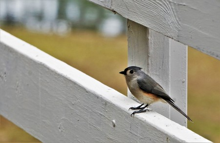 An adorable Tufted Titmouse (Baeolophus bicolor) perching on the wooden fence enjoy watching and resting on the blurry garden background, Winter in GA USA.