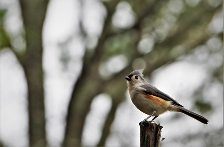 A single tufted titmouse (Baeolophus bicolor) perching on the stump of the wood enjoy watching and resting on the blurry garden and hazy sky background, Winter in GA USA.