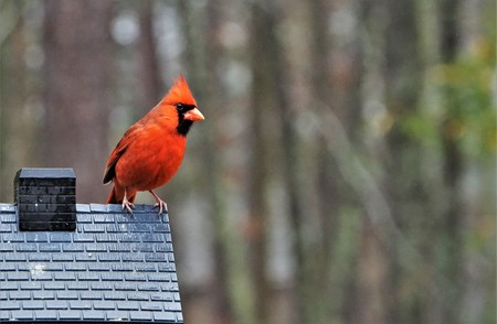 A single male cardinal bird is perching on the roof of the feeder enjoy eating and watching  on soft focus garden background, Winter in Georgia USA.