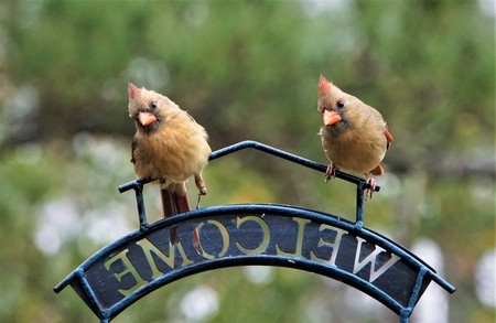 A pair of female cardinal bird that one of them has  broken left leg perching on the bird feeder stand in one morning on the blurry garden background, Winter in Ga USA.