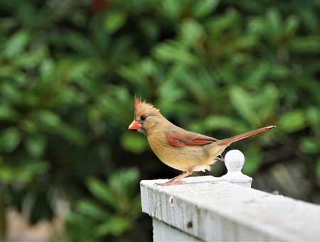 A female cardinal bird is perching on the wooden fence enjoy resting and watching on the soft focus garden background, Winter in Georgia USA.