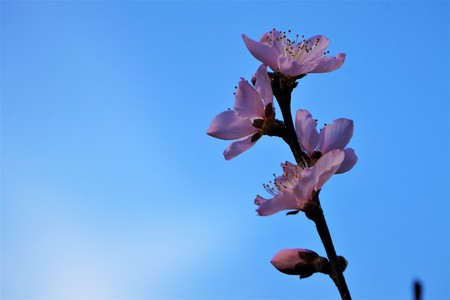 Pink peach blossoms blooming in late Winter on the clear blue sky background, Winter in Georgia USA. 스톡 콘텐츠