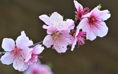Pink peach blossoms blooming in late Winter on the garden background, Winter in Georgia USA. 스톡 콘텐츠