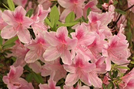 Beautiful Pink Azalea flower blooming in the garden, Spring GA USA. 스톡 콘텐츠