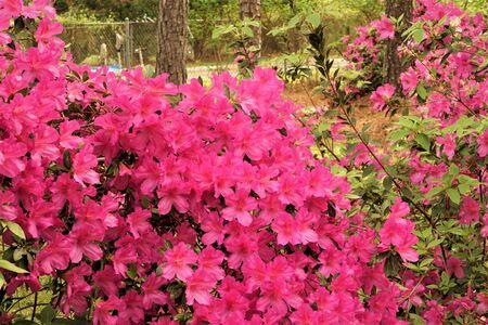Purple Azalea flower bush blooming in the garden background, Springtime in GA USA. 스톡 콘텐츠