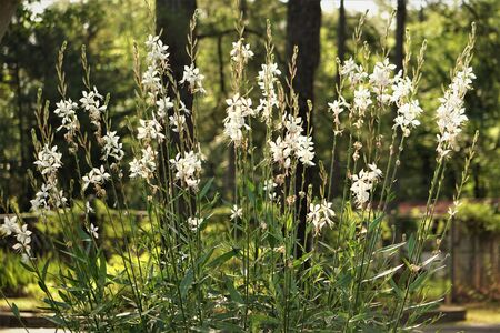 White flower of Gaura lindheimeri or Whirling Butterflies blooming on the garden and pine trees background, Spring in GA USA.