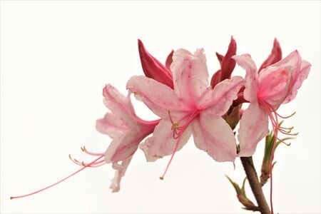 Pink azalea flower with buds isolated on the white background.