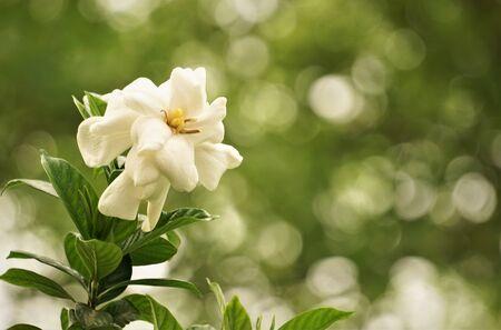 Pretty gardenia flower (Gardenia jasminoides) blooming in the green garden background , Spring in GA USA. 스톡 콘텐츠