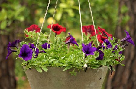 Purple or violet and red surfinia or petunia flower in bloom in the metal pot on the background of green garden, Spring in GA USA