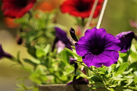 Purple or violet surfinia or petunia flower in bloom in the pot on the background of green leaf, closeup, Spring in GA USA.