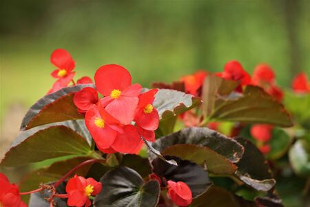 Red Begonia flower (Begonia semperflorens) blooming in the garden, soft focus and green background garden, Spring in GA USA. 스톡 콘텐츠