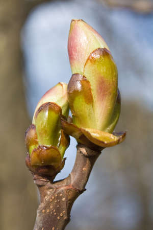 chestnut tree: Early spring bud of the horse-chestnut tree