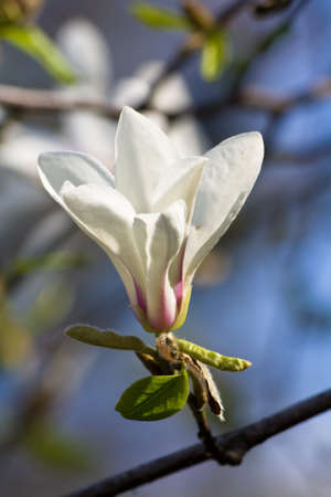 White magnolia blossom photo