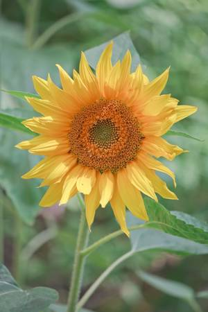 helianthus annuus: Sunflower  (Helianthus annuus) on the green natural floral background