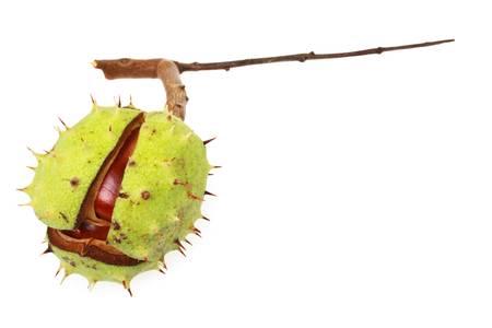 aesculus hippocastanum: Horse chestnut (Aesculus hippocastanum) in natural shell