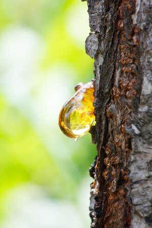resin: Close up de gota de resina de color amarillo �mbar de reina-Manzano (Cydonia) en verano