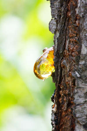 resin: Close up of amber yellow resin drop from queen-apple tree (Cydonia) in summer Stock Photo