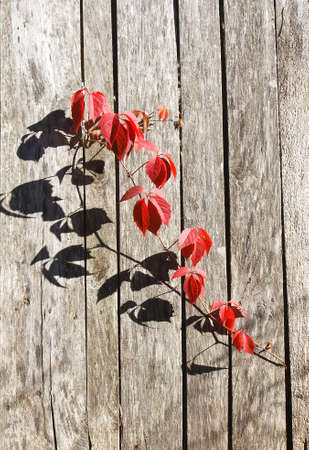 Red autumn leafage of wild grape on gray wooden fence panels  photo